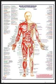 Πλαισιωμένη αφίσα Human Body - Major Anterior Muscles